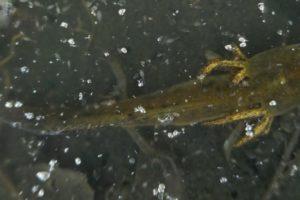 Newt Larvae News