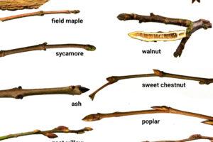 Winter twig identification