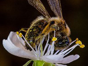 Our Wild Bees By Roselle Chapman