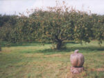 The value of old orchards for birds
